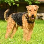 Airedale Terrier good family dog
