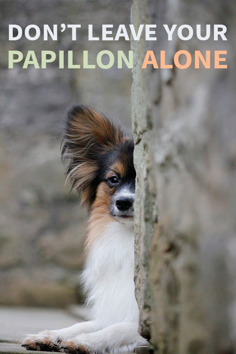 Don't leave your Papillon alone