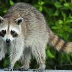 what to do if your dog attacks a raccoon